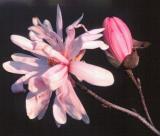 M. stellata 'Pink Perfection'