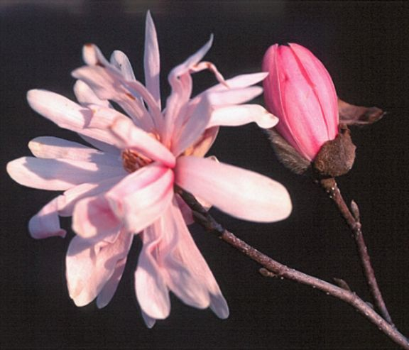 M. stellata Pink Perfection
