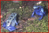 Poison arrow frogs.