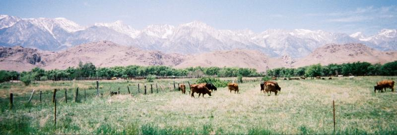 A10 Mt Whitney and Cows.jpg