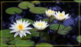 The Lillies and Lotus Flowers of Nayag Park