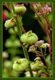 Some Buds in Shakespeare's Garden