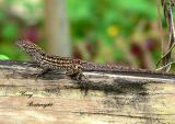 Lizard on fence post