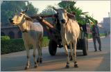 Bullock Cart, Agra