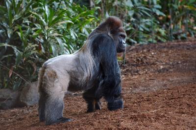 Standing Male gorilla.jpg