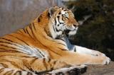 Lounging tiger.jpg