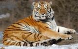 Tiger throne.jpg