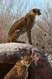 Two cheetahs watching.jpg
