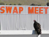 Vulture at the swap meet