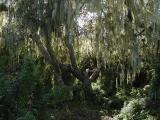 Elfin forest oak tree