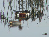 Green-winged Teal (with Northern Shoveler)