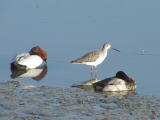Canvasback, Yellowlegs, Scaup