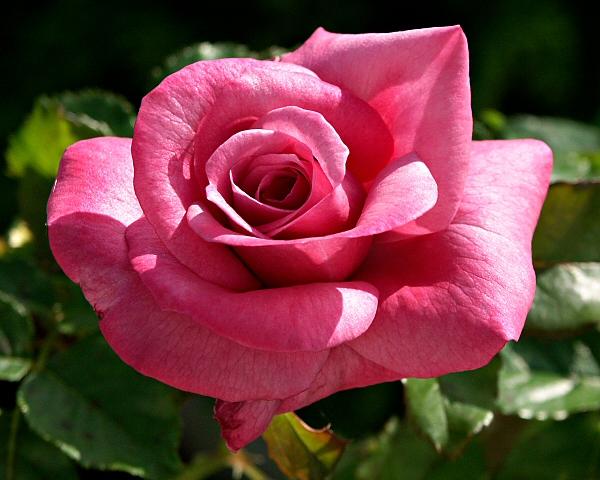 Hello Gorgeous Rose