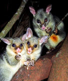 Twin brushtail possums