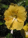 Yellow Hibiscus.