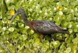 168 Glossy Ibis on Moneywort