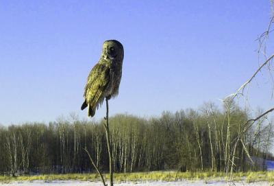 Owl on a stick