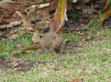 Mongoose Maui