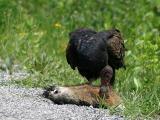 Turkey Vulture Hard at it