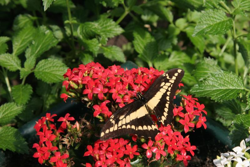 Papilio Cresphontes