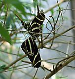 Convening Zebra Butterflies