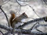 red squirrel early spring Buckskin area P1010009.JPG