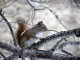 red squirrel early spring Buckskin area P1010009.JPG