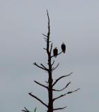 Pair of Eagles.jpg