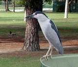 Night Heron - CP990
