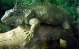 Lizard - CP990