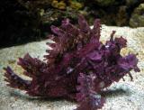 Weedy scorpionfish (Rhinopius frondosa)