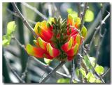 Erythrina Acanthocarpa - South Africa