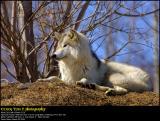 Wolf Wolf ...