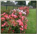 Nice rose display
