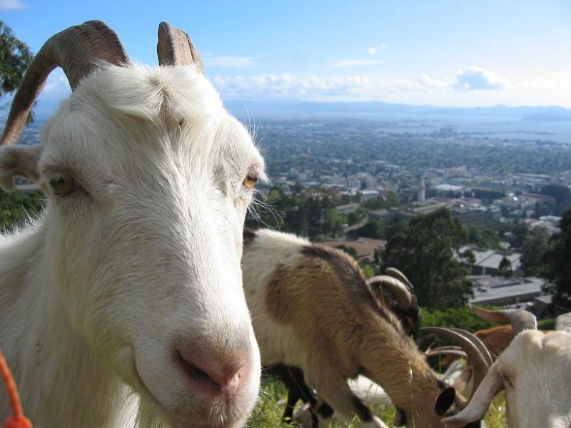 My favorite goat #2.  m_042103-10