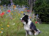 wildflowerdog.JPG