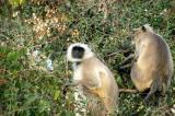 Hanuman Langur (Semnopithecus entellus), commonly known as black-faced monkies