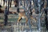 Female Nilgai are much lighter than the males