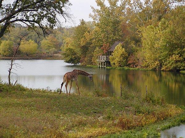Giraffe in Autumn