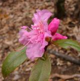 R. mucronulatum 'Airy Fairy'