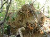 oak root ball - where the little mounted roots came from