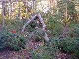 oak limbs down, ready to cut