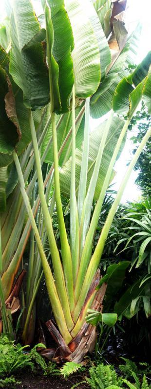 Travellers Palm pano.jpg