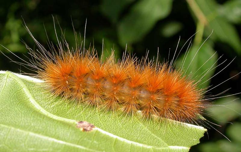 Virginian Tiger Moth caterpillar -- Spilosoma virginica ...