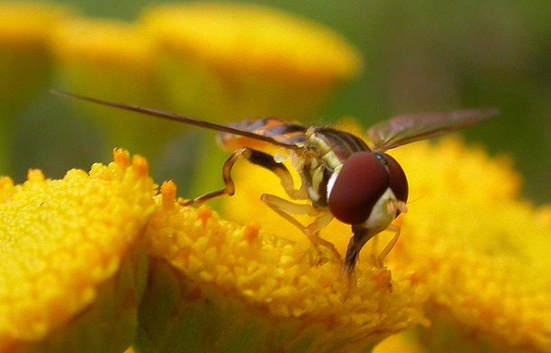hover fly -- 2