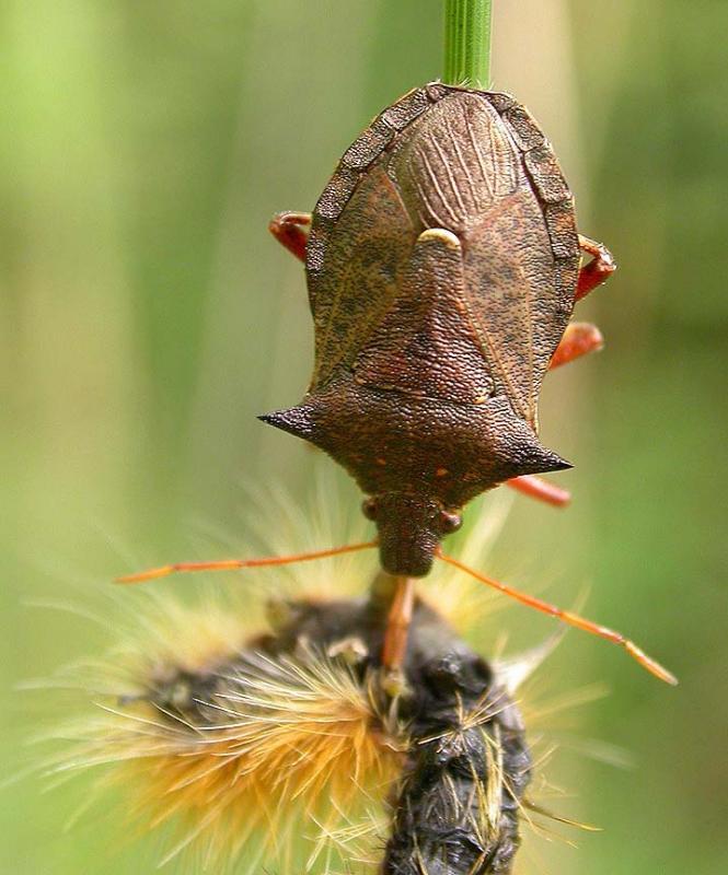 stinkbug with prey - 2