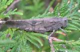 Carolina grasshopper - Dissosteira carolina.