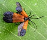End-band Net-wing Beetles -- Calopteron terminale -- mating