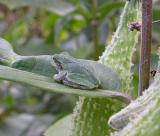 young Gray Treefrog on a milkweed leaf