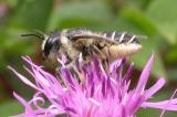 leaf-cutter bee -- Megachilid family ?